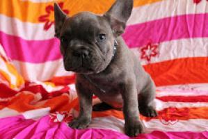 Regalo Bien entrenado cachorros de Bulldog Francés