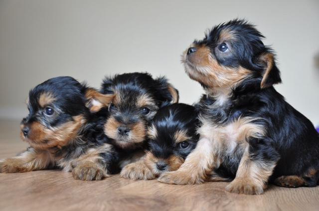 Cachorros de yorkshire terrier miniaturas
