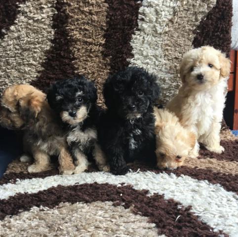 Estupendos cachorritos de caniche toy