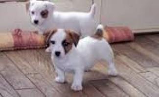 Regalo Cachorros de Jack Russell