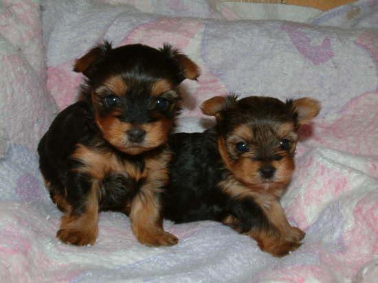 Regalo de cachorros de yorkie para adopción