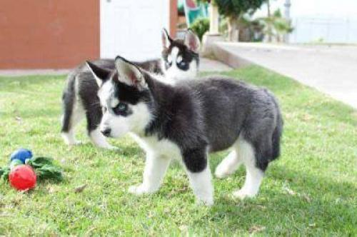 Regalo Dulces cachorros Siberian Husky