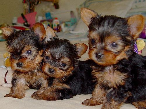 Macho y Hembra cachorros Yorkshire Terrier