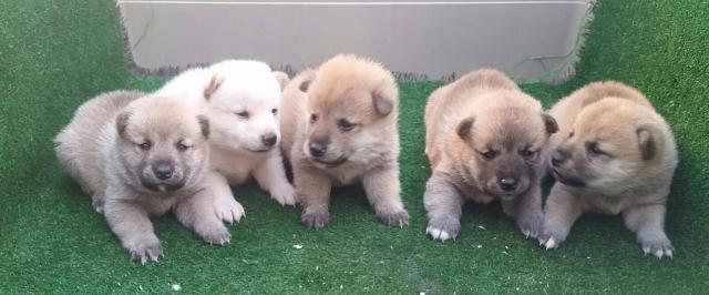 Shiba Inu camada de cachorros nacionales de color rojo y crema !!