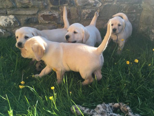 Los cachorros de Labrador preciosas