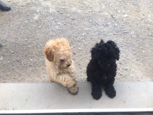 Los cachorros caniches miniatura, ListoYa
