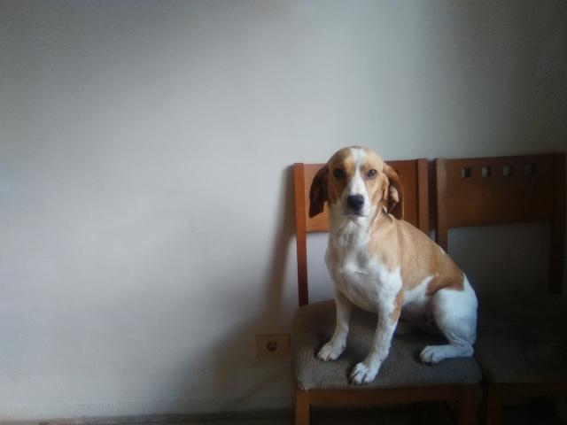 Se regala mestiza de beagle de 1año y medio
