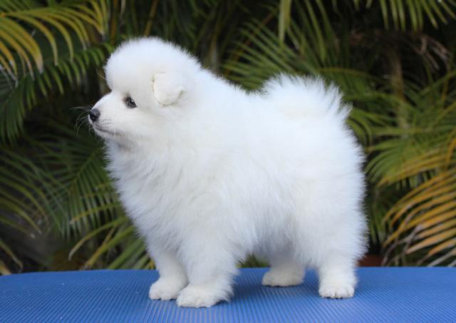 Regalo cachorros hermosa niña y un niño de japonés Spitz