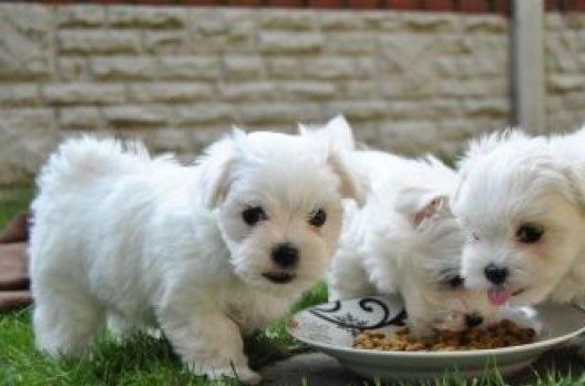 Preciosos Cachorritos de BICHON MALTES.