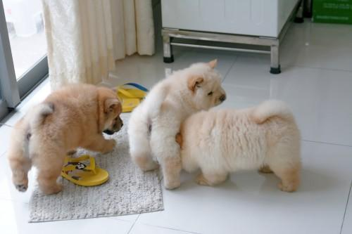 Chow Chow cachorros disponible con pedigree.