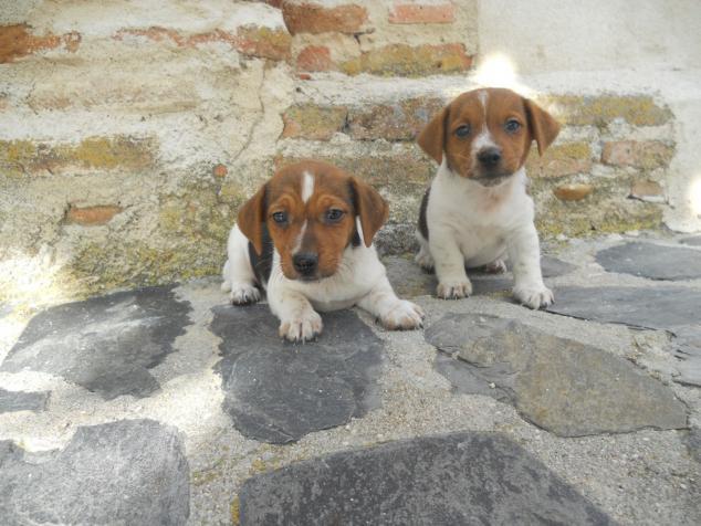 Regalo Jack Russell Terrier Variedad Cachorros Preciosos