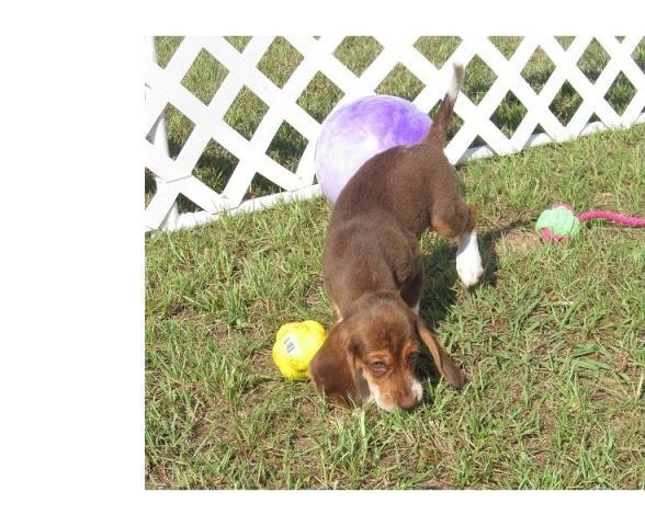 Regalo Los cachorros Beagle hermosas disponibles