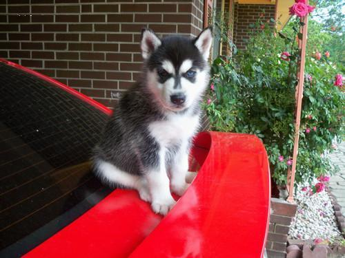 Regalo mini toy Cachorros husky national pedigree disponible.