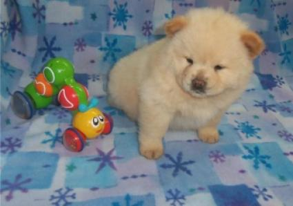 Regalo mini toy Cachorros chow chow pedigree disponible.