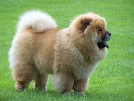 Regalo Cachorros chow chow pedigree disponible.