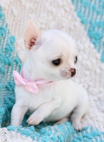 Regalo Cachorros chihuahua pedigree disponible.