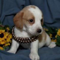Regalo Cachorros beagle pedigree disponible.