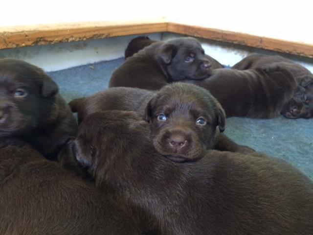Cachorros de Labrador Chocolate raza pura en venta