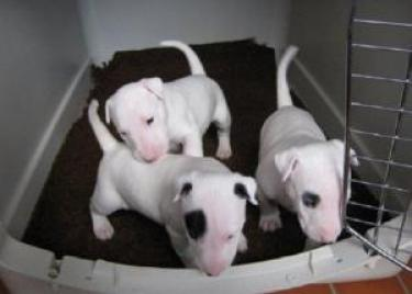 Regalo adorable miniatura bull terrier toy cachorros