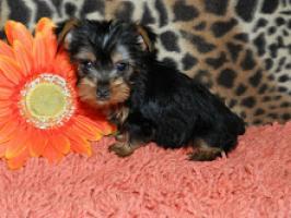 Cachorros Yorkie Terrier mini! Cachorros Yorkie Terrier mini! Cac