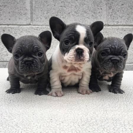 Perros entrenados de segunda mano - Bulldog frances gratis madrid ...