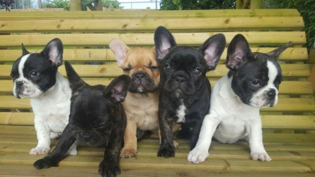 Perros disponibles cachorros bulldog de segunda mano - Bulldog frances gratis madrid ...