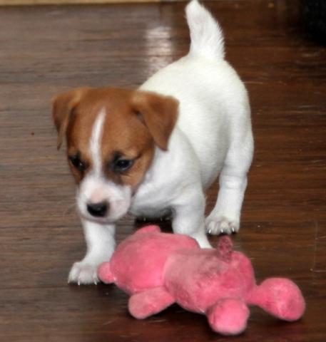 cachorros de Jack Russell disponibles