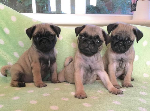 Los cachorros Pug hermosas para su aprobación