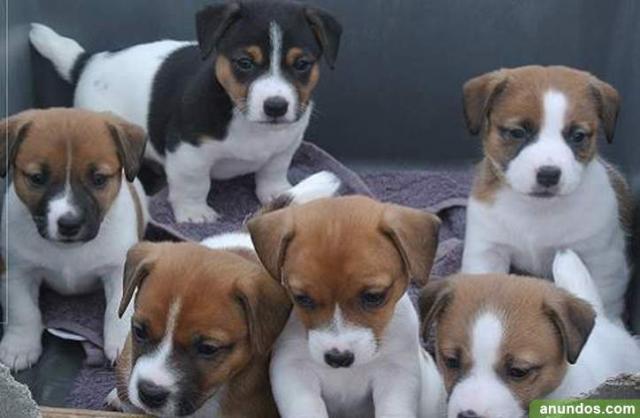 Gratis El perrito del terrier Jack Russell disponibles