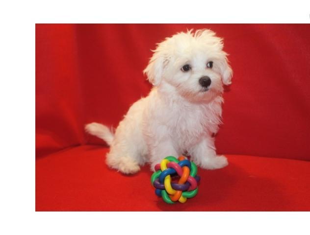 Inicio Criado Maltese Puppies disponibles