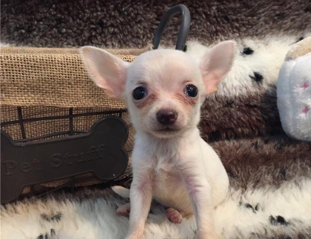 Chihuahua cachorros de 8 semanas de edad