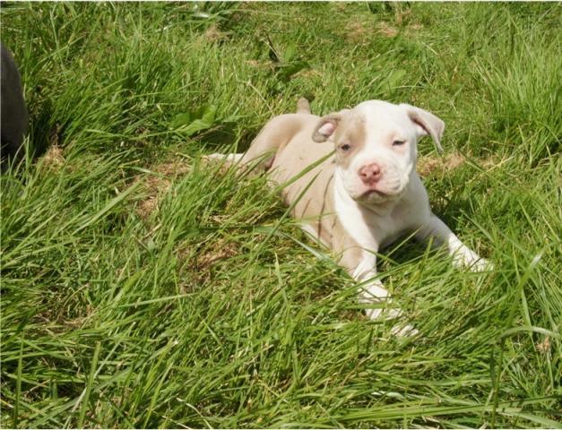 cachorros estadounidense Pitbull