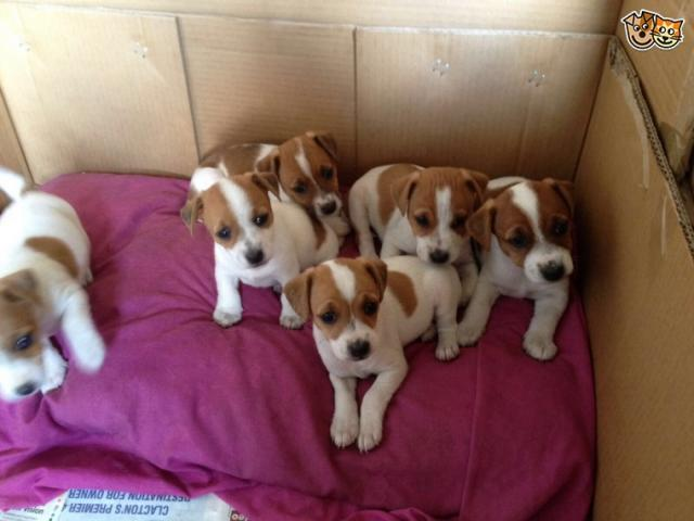 JACK RUSSELL TERRIER CACHORROS BICOLORES