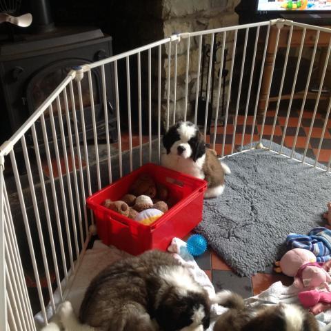 Estupendos cachorros de san bernardo de pura raza