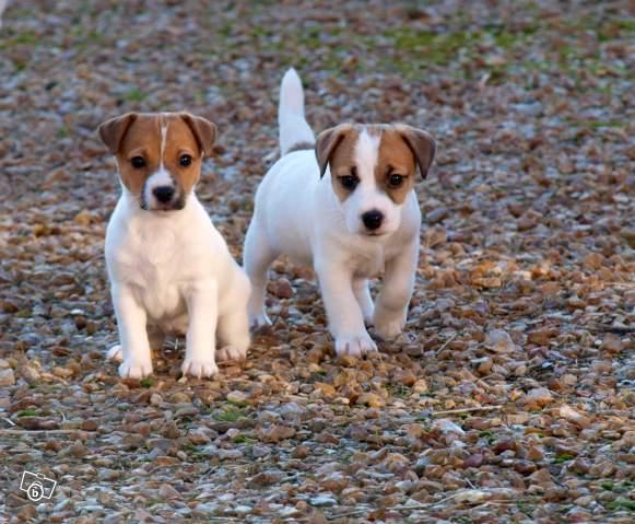 CACHORROS DE JACK RUSSELL
