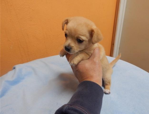 Regalo Preciosos cachorros Chihuahua que mira listo ahora para un