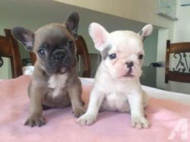 Regalo cachorros bulldog francia