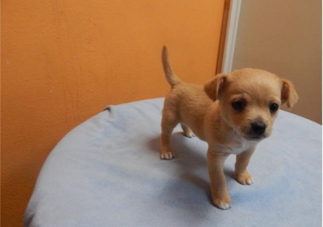 Chihuahua del perrito