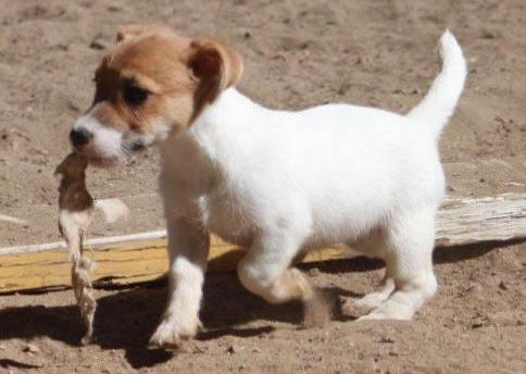 Jack Russell cachorros para su aprobación