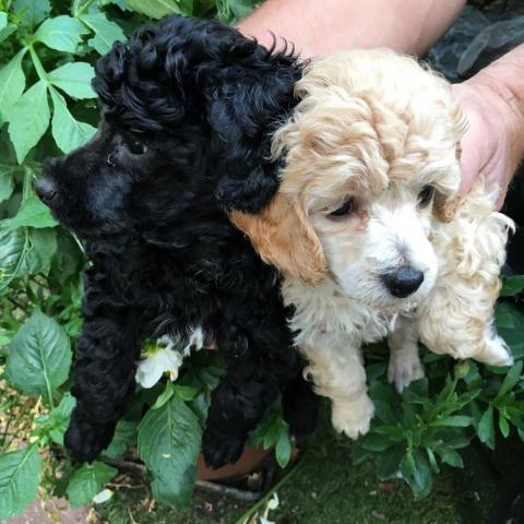 Preciosos cachorros caniche para la adopción