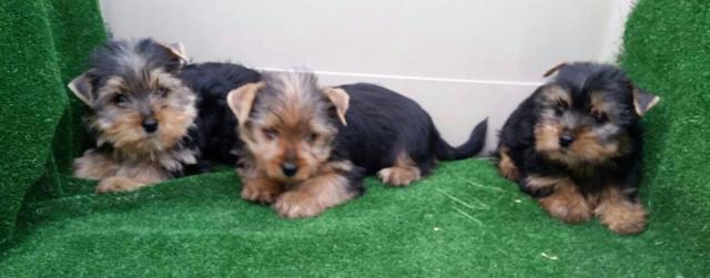 Yorkshire terrier en adopción.