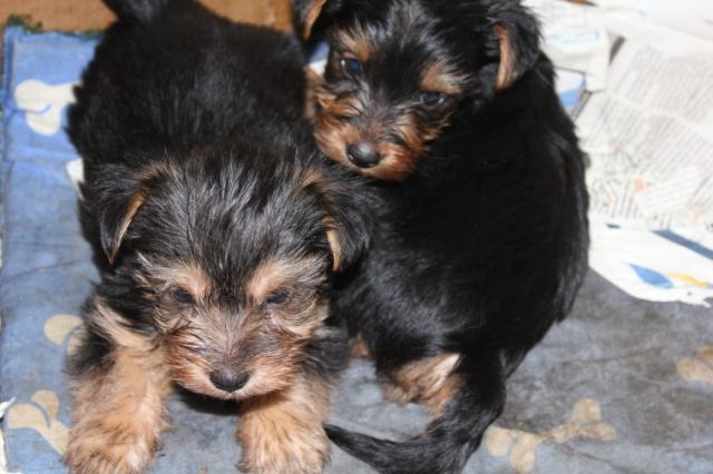 Champion Yorkshire Terrier (Yorkies) Disponible ahora.