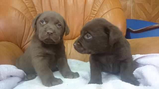Fantástica Camada Pura Raza Labrador color chocolate