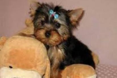 Perrito femenino hermoso del terrier de yorkshire