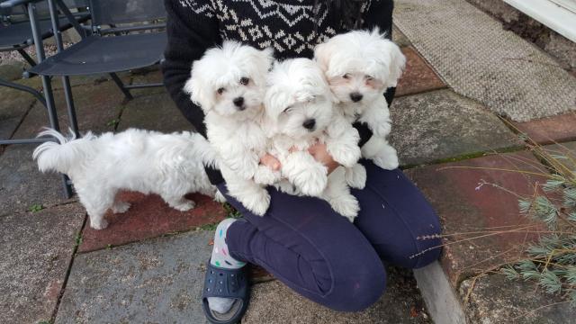 Autenticos cachorros de raza bichon maltes