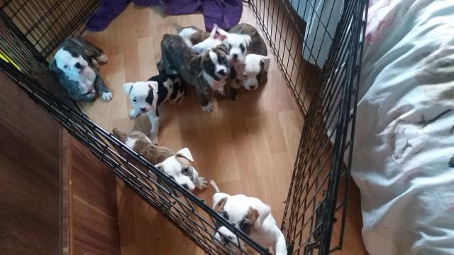 Excelentes cachorros de bulldog americano pura raza