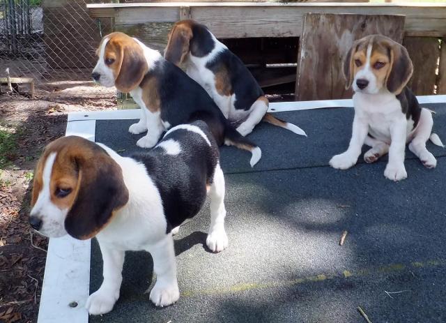 Excelentes cachorros de raza beagle monisimos