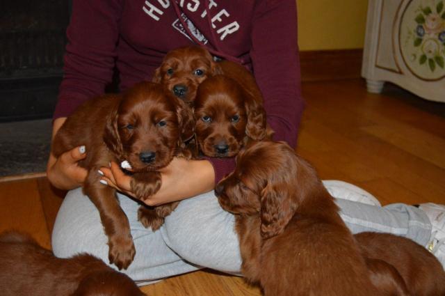 Excelentes cachorros de setter irlandes buena calidad