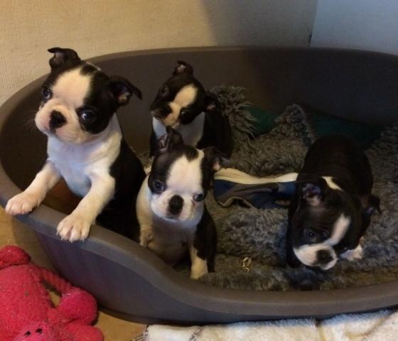 Excelentes cachorros de raza boston terrier