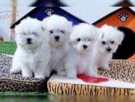 REGALO BichonMaltes cachorro para su adopcion